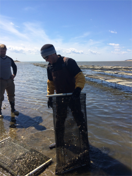 Jake Puffer working on his shellfish oyster grant in Wellfleet