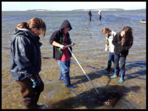 Volunteers in shallow water raking for oysters on an aquaculture grant site